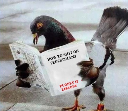 01-pigeon